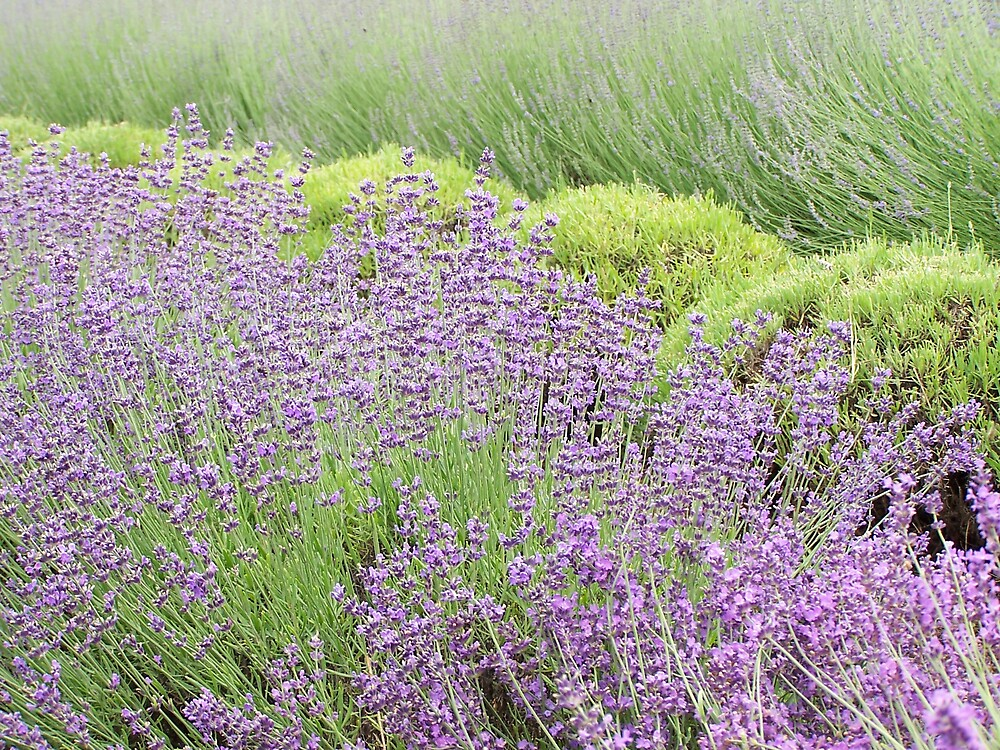 Lavender 2 by Carrie Norberg