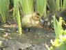 baby duck in reeds by darren  shaw