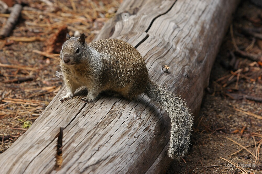 Squrrel by Ray Rozelle