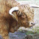 Highland Bull by cs-cookie