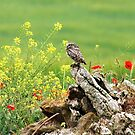Little Owl by cs-cookie