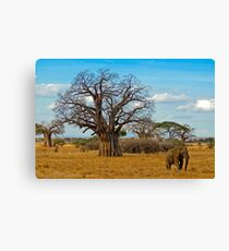 Baobab Tree (Adansonia digitata) Canvas Print