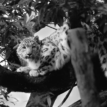 Snow Leopard by Sandra