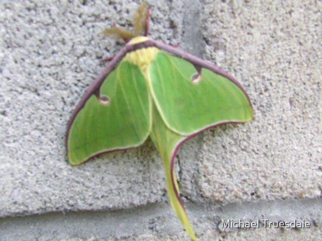 Silk Moth by Michael Truesdale
