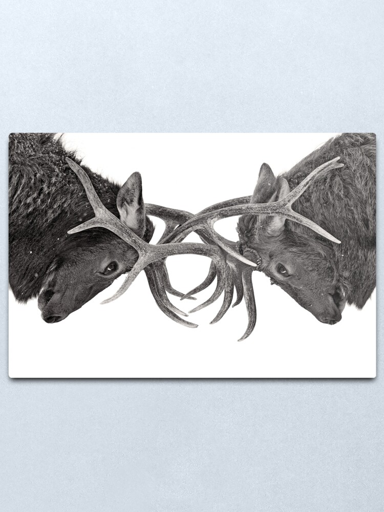 Alternate view of Eye to Eye - Elk fight Metal Print