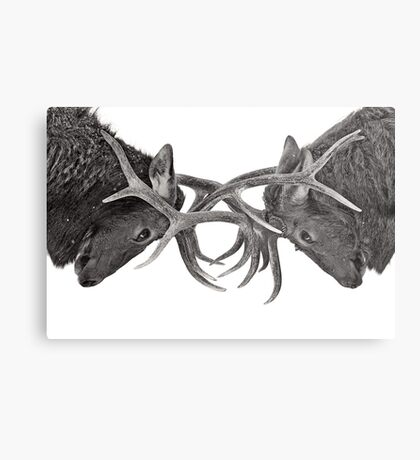 Eye 2 Eye - Elk fight Metal Print