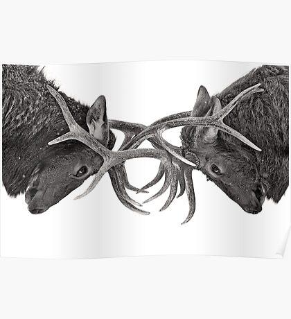 Eye 2 Eye - Elk fight Poster