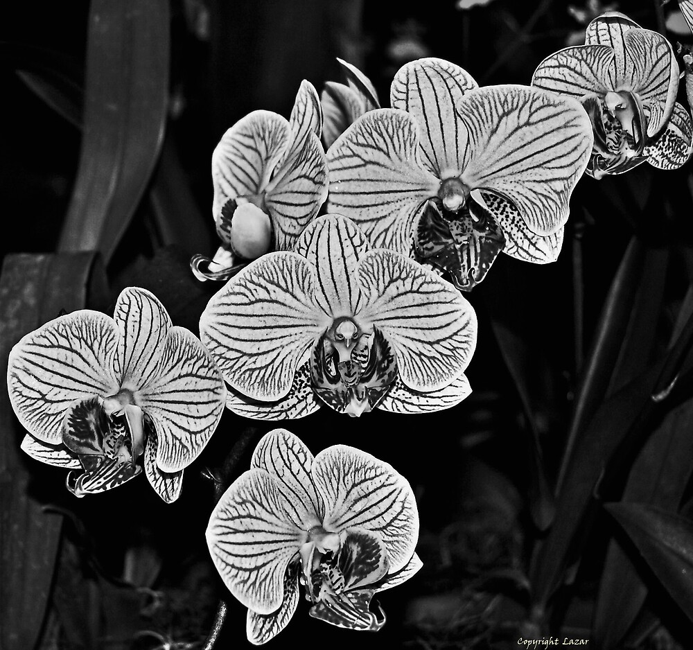Orchids In B/W by terrylazar