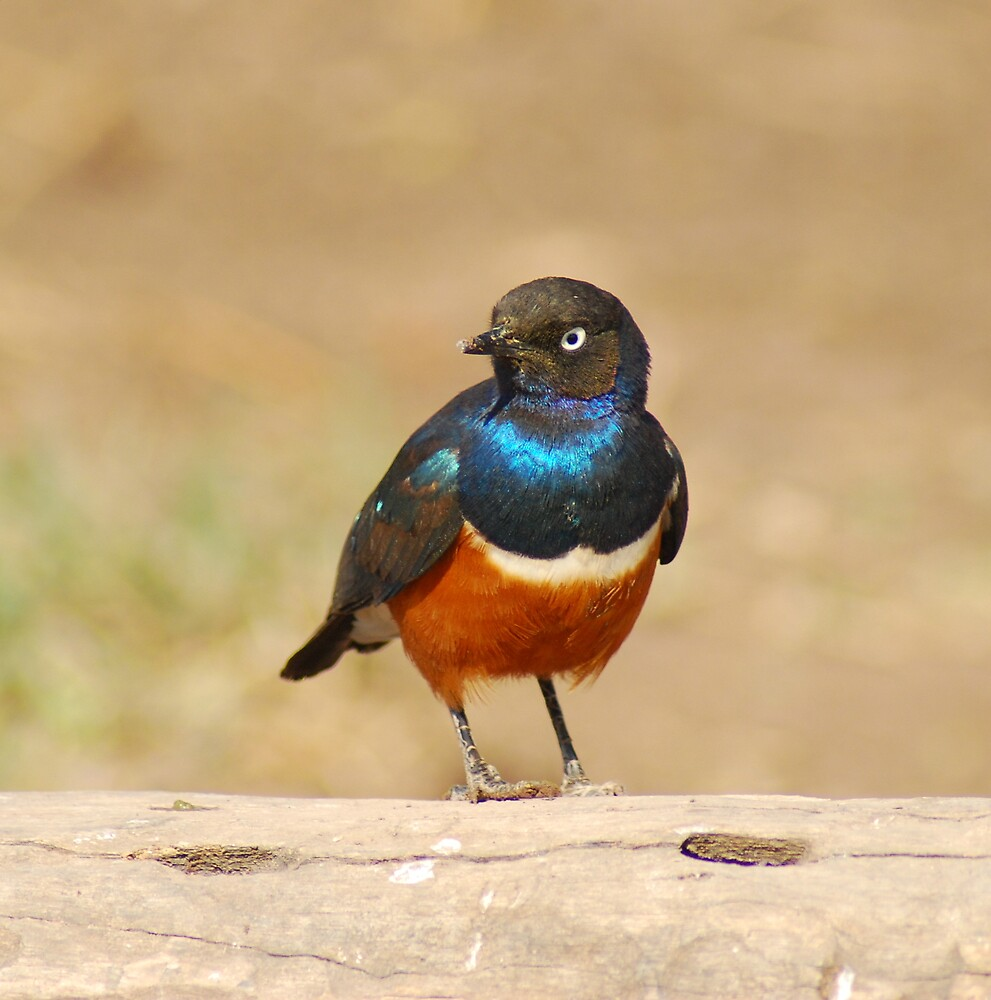 Superb Starling by PPDesigns