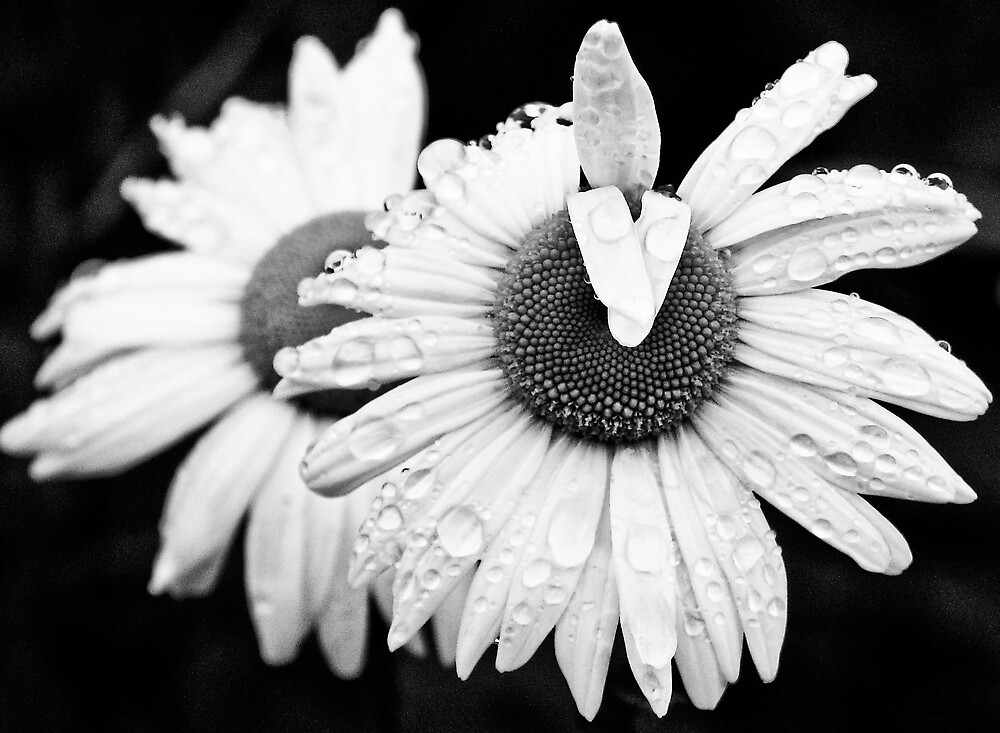 Daisies after the rain by glassica