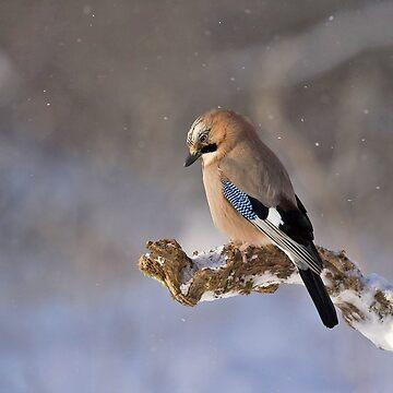 winter jay bird by chloemease