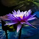 Purple Lotus Flower by Jacqueline Cooper