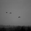 Herons by MikeThomas
