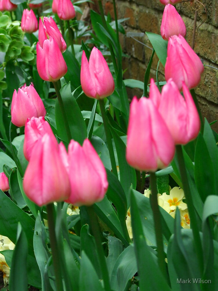 Spring Tulips by Mark Wilson