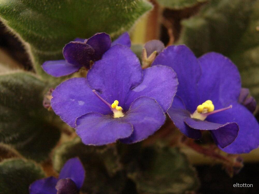 Purple Violet by eltotton