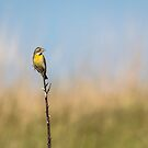 Dickcissel 2017-1 by Thomas Young