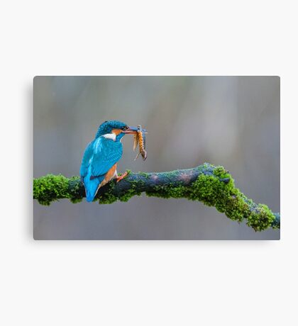 The common kingfisher (Alcedo atthis) Canvas Print