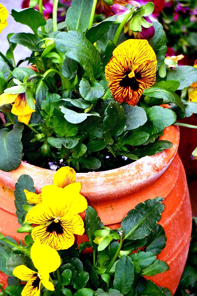 Pot overflowing with yellow delights by Judi Taylor