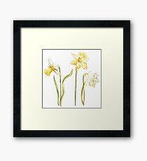 Narcissus flower Framed Print