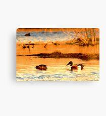 Northern Shoveler Ducks Canvas Print