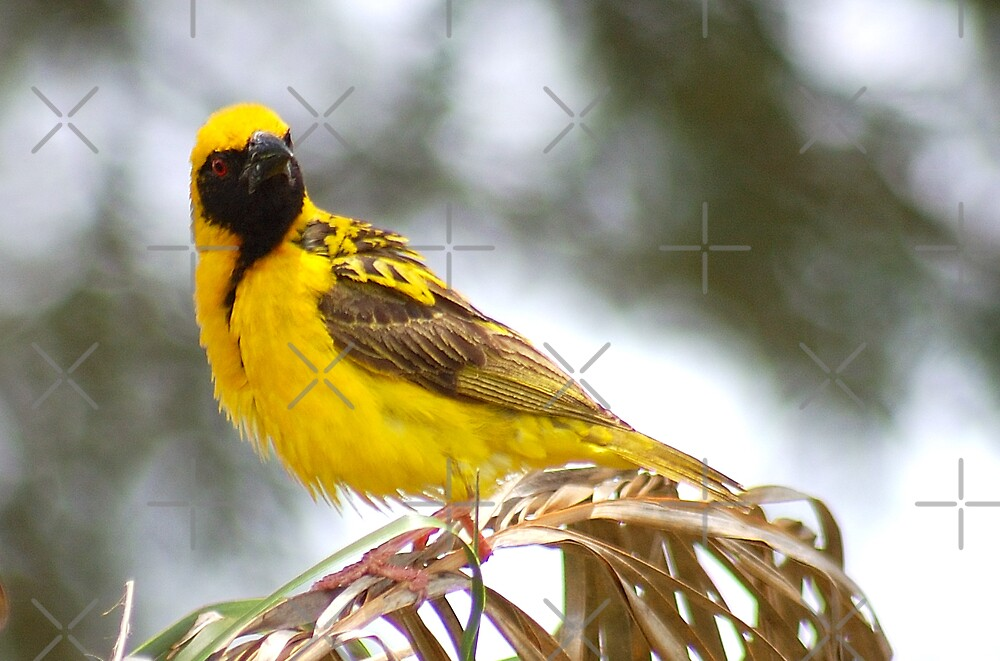 WERE YOU TALKING TO ME? (SOUTHERN) MASKED WEAVER - Ploceus velatus by Magriet Meintjes