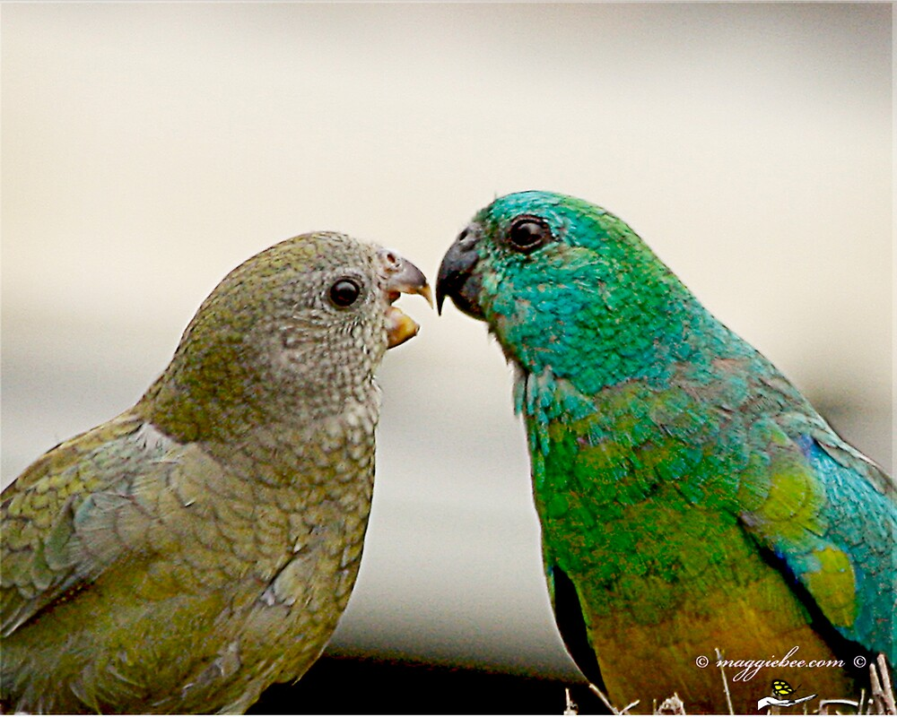 Grass parrots courting  by Maggiebee