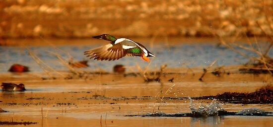 """It's a bird! It's a plane! It's a duck!"" by Ryan Houston"