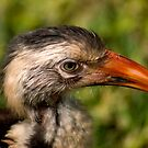 RED-BILLED HORNBILL - Tockus erythrorhynchus by Magriet Meintjes
