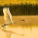 White Swan in Golden Light by Donna Ridgway