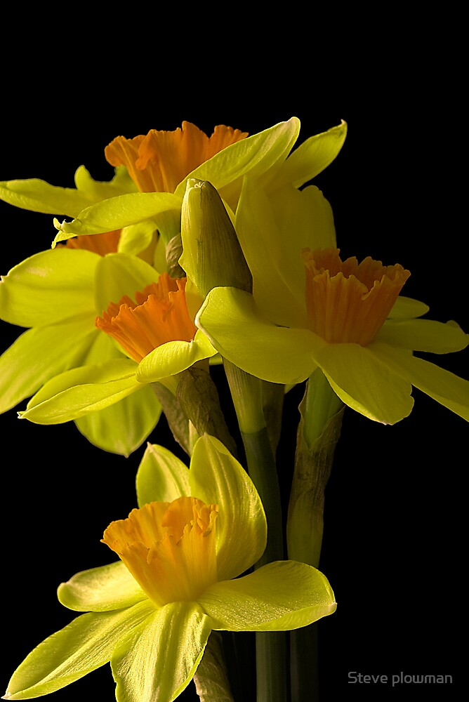 Daffs on Black by Steve plowman