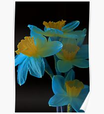 Blue and yellow Daffodills Poster