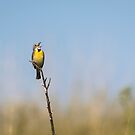 Dickcissel 2017-2 by Thomas Young
