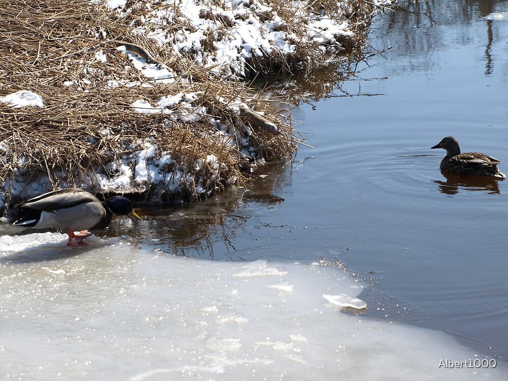 NC Duck #3 by Albert1000