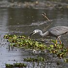 White-faced Heron  by Margaret Stanton