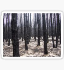 In the Pine Forest - after the fire Sticker