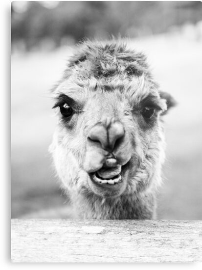 Alpaca in a field. Black and White  by Rob D