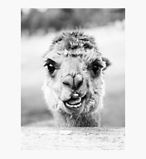 Alpaca in a field. Black and White  Photographic Print