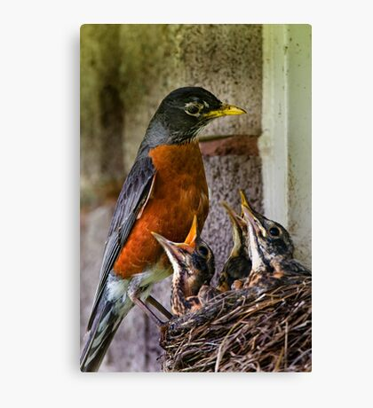 American Robin And Nest Canvas Print