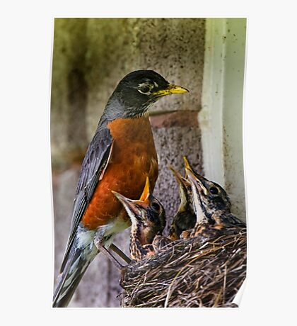 American Robin And Nest Poster