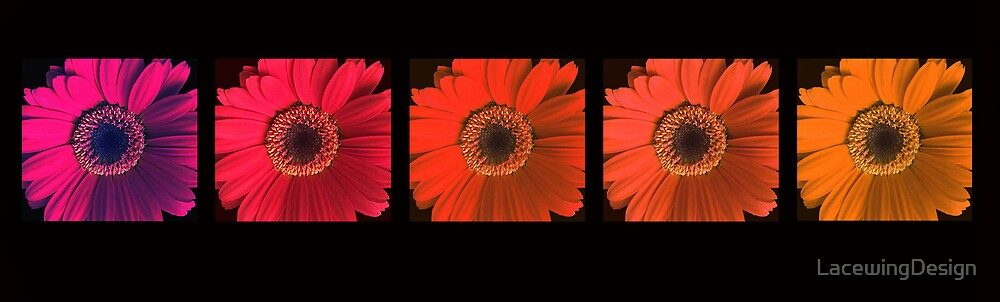 GERBERA ~ SPECTRUM ~ OIL ON CANVAS by LacewingDesign