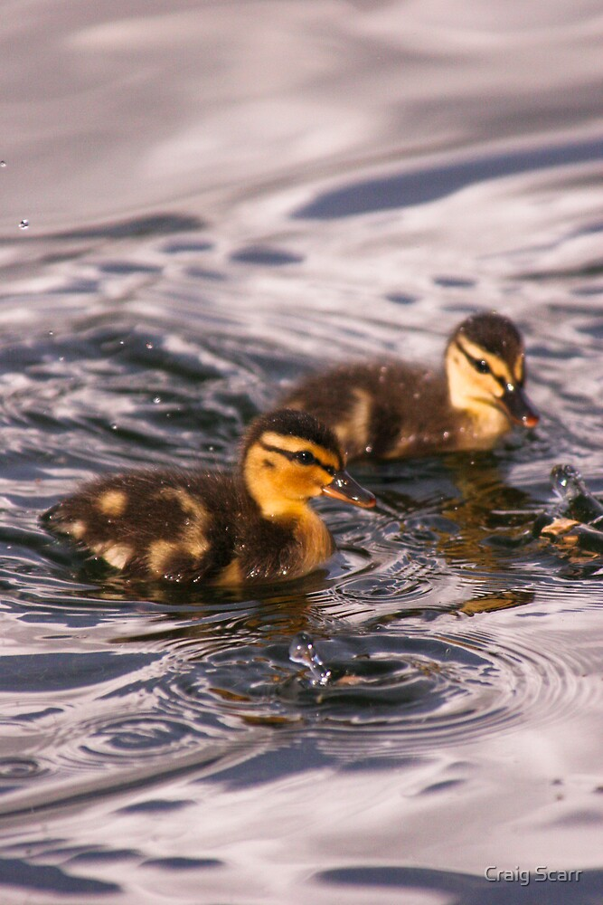 Ducklings by Craig Scarr