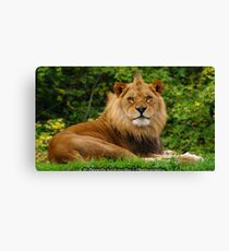 Male Lion at Pittsburgh Zoo Canvas Print