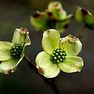 New Dogwood Blossoms by Jonicool