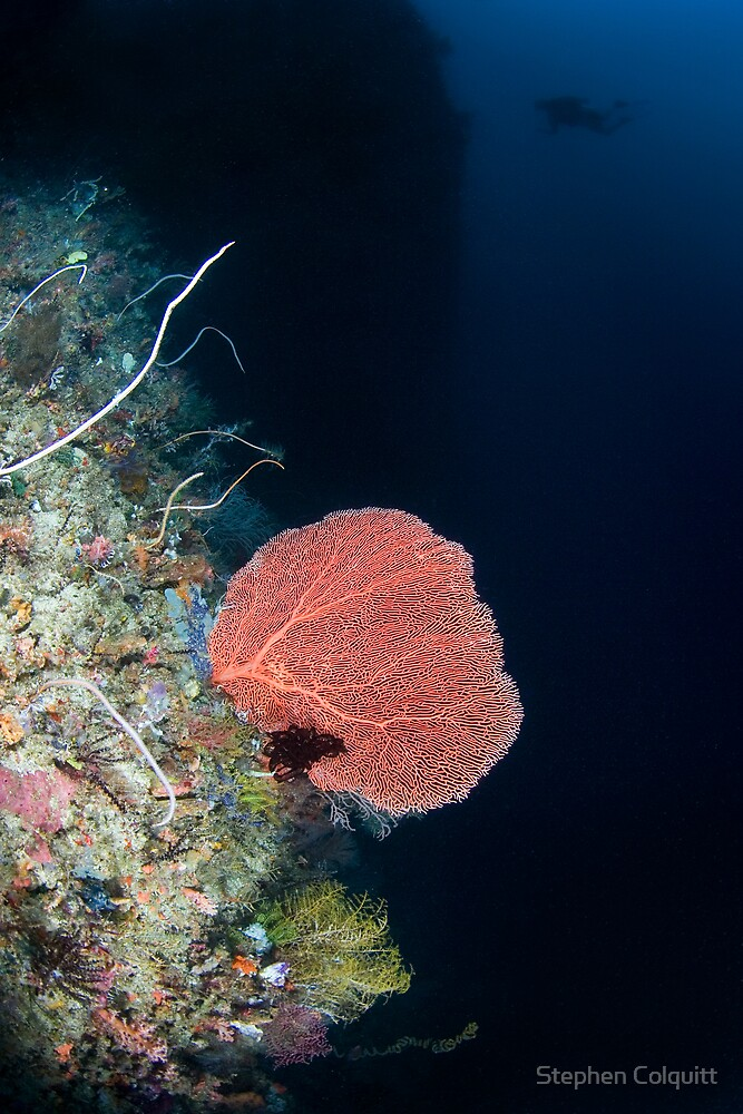 Pink gorgonian  by Stephen Colquitt