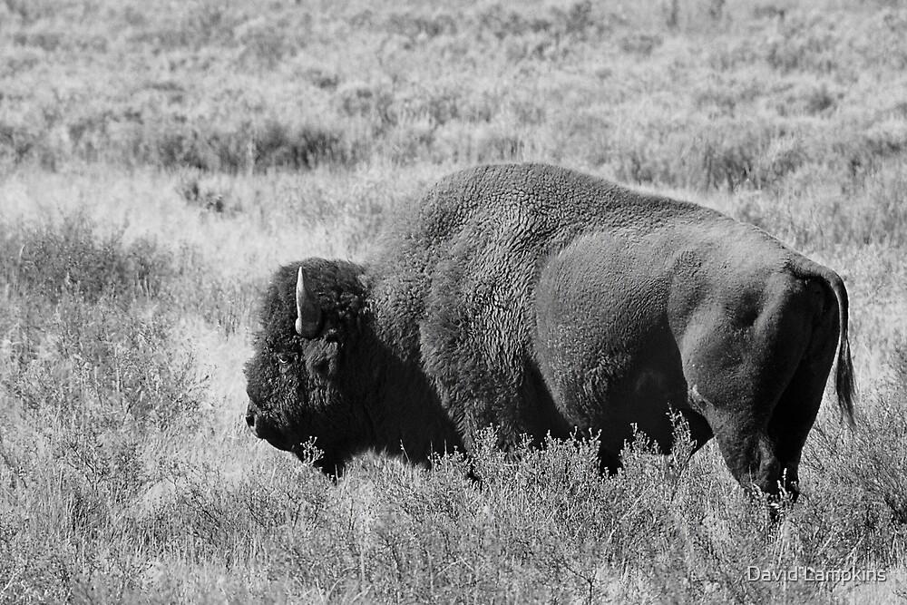 Bison by David Lampkins
