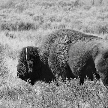 Bison by djlampkins
