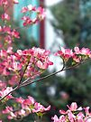 Pink Dogwood by FrankieCat
