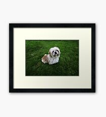 Cute Shih Tzu in the grass Framed Print