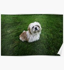 Cute Shih Tzu in the grass Poster