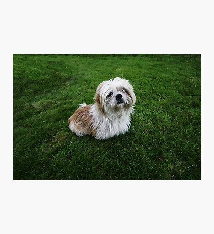 Cute Shih Tzu in the grass Photographic Print